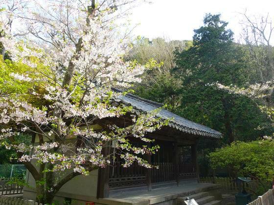 高徳院 観月堂 桜