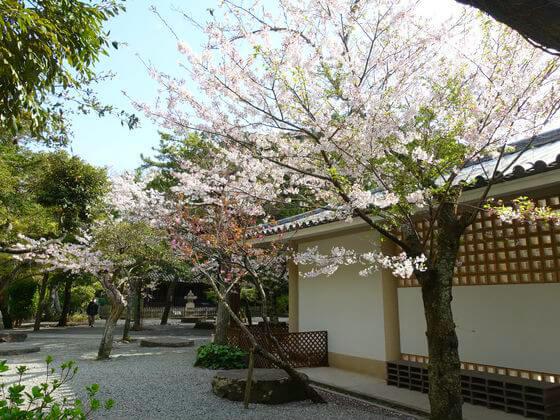 高徳院 桜 開花状況