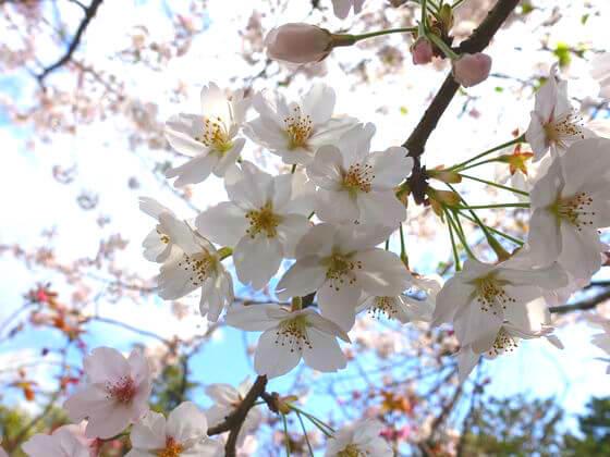 高徳院 桜 見頃