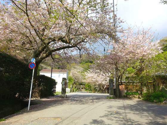 鎌倉 光則寺 桜