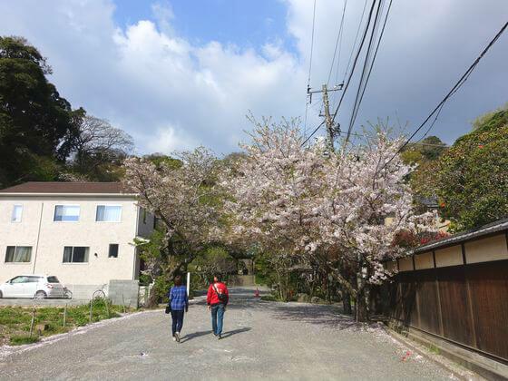 鎌倉 光則寺 ソメイヨシノ