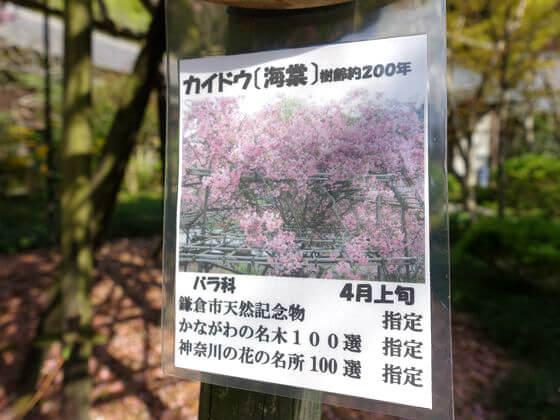 鎌倉 光則寺 カイドウ