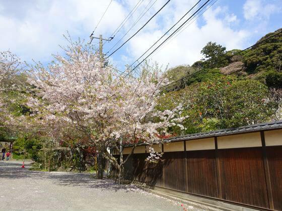 光則寺 鎌倉 桜