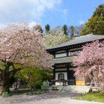 鎌倉・長谷寺の桜 2017の見頃・開花状況は?