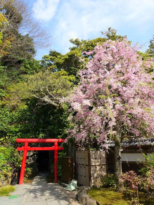 長谷寺 お花見