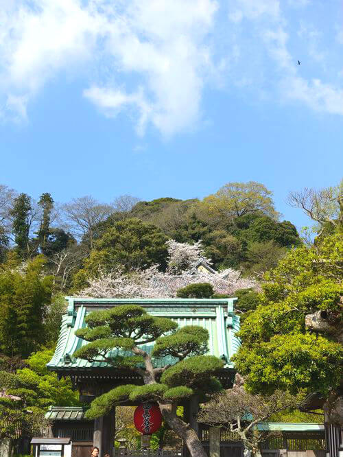 長谷寺 鎌倉 桜
