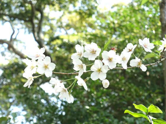 鎌倉 御霊神社 ヤマザクラ