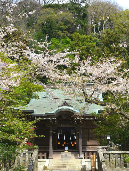 鎌倉 御霊神社 ソメイヨシノ