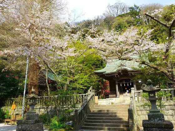 鎌倉 御霊神社 桜 見頃