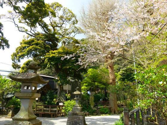 御霊神社 桜