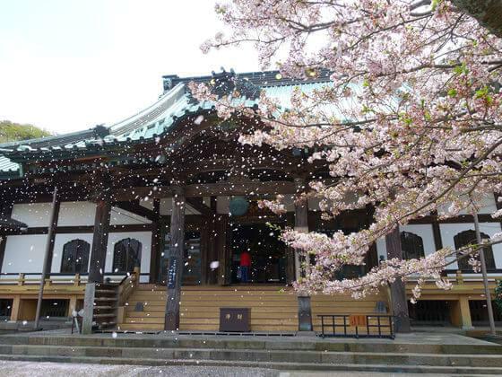 光明寺 鎌倉 お花見