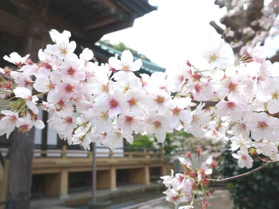 光明寺 鎌倉 ソメイヨシノ