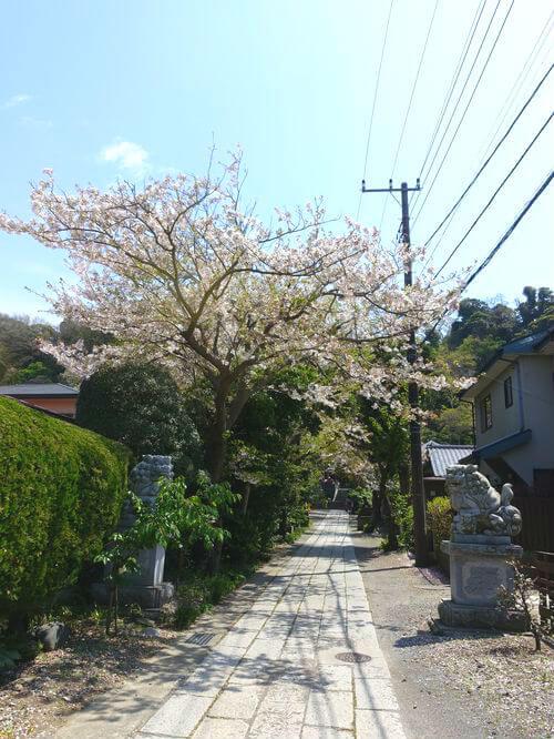 鎌倉 五所神社 桜