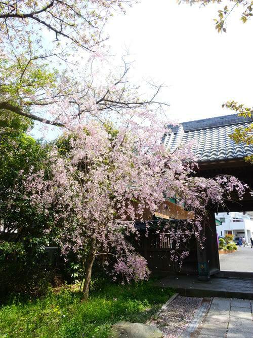 長勝寺 鎌倉 桜