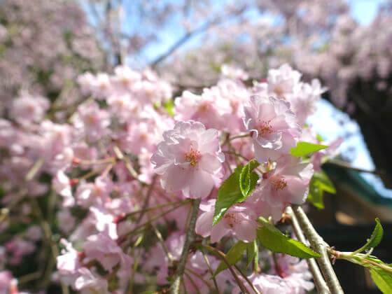 鎌倉 長勝寺 しだれ桜