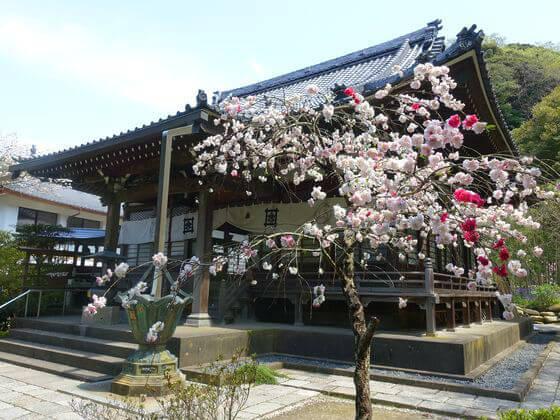 鎌倉 安国論寺 桃