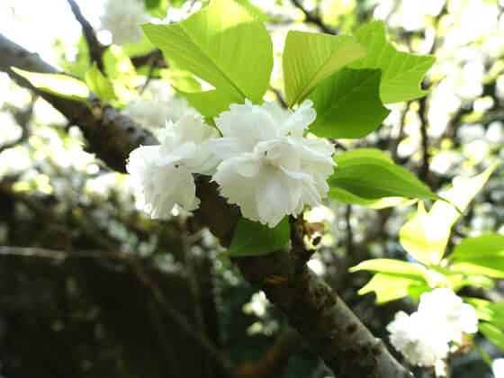 安国論寺 山桜