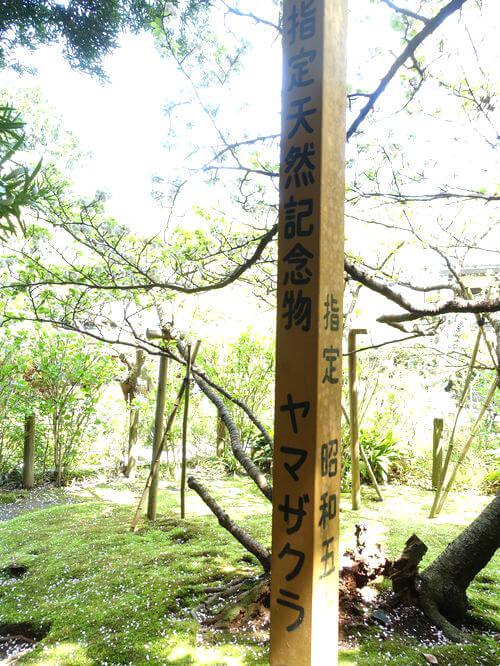 鎌倉 安国論寺 山桜