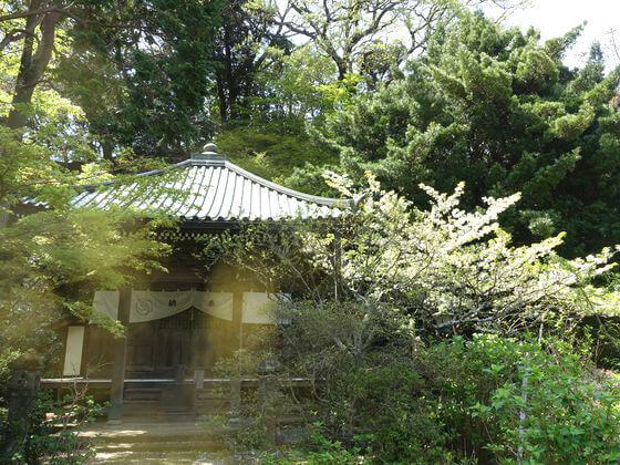 鎌倉 安国論寺 妙法桜