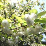 鎌倉・安国論寺の妙法桜(ヤマザクラ)