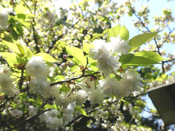安国論寺 妙法桜