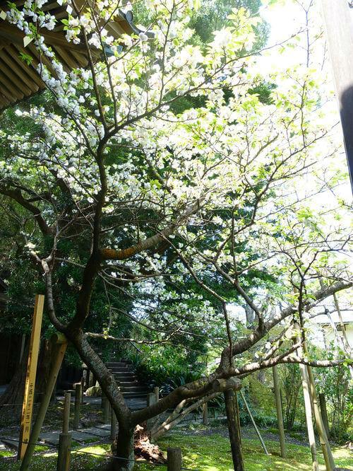 鎌倉 安国論寺 ヤマザクラ