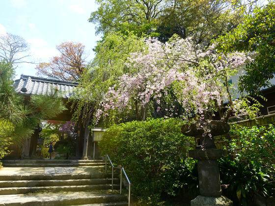 鎌倉 安国論寺 桜