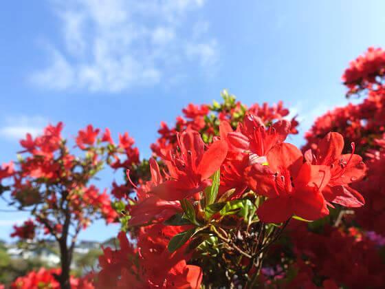 葉山 花の木公園 つつじ