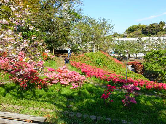 花の木公園 葉山 ツツジ