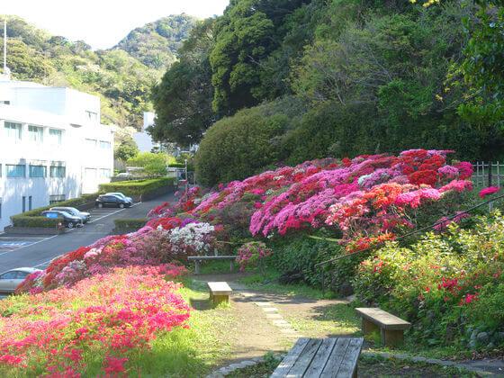 葉山 花の木公園 躑躅