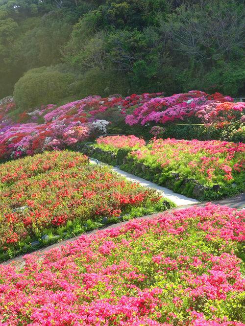 葉山 花の木公園 ツツジ