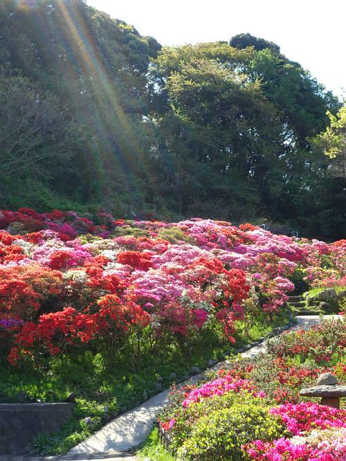 花の木公園 葉山 躑躅