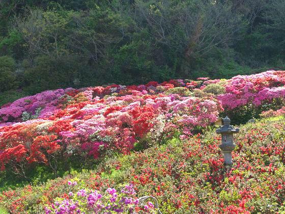 花の木公園 つつじ 開花状況