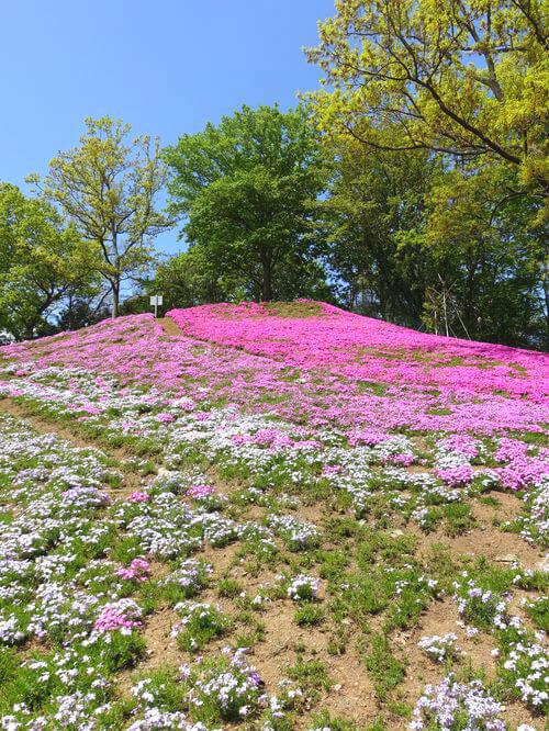 芝桜 吾妻山公園