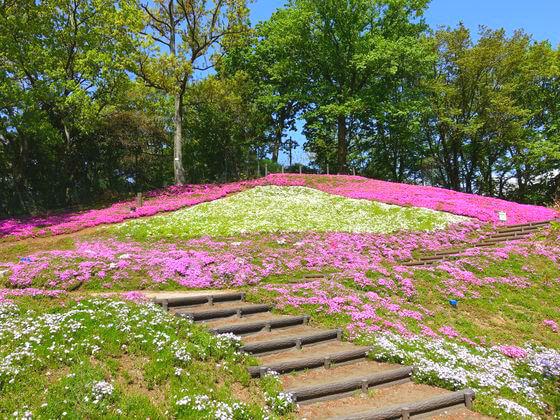 吾妻山公園 芝桜