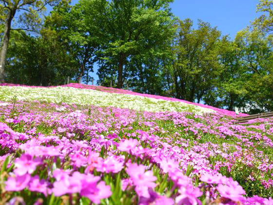 二宮 芝桜