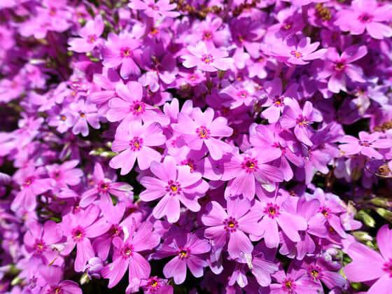 吾妻山公園 芝桜 開花状況