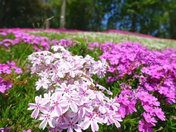 吾妻山公園 芝桜 見頃