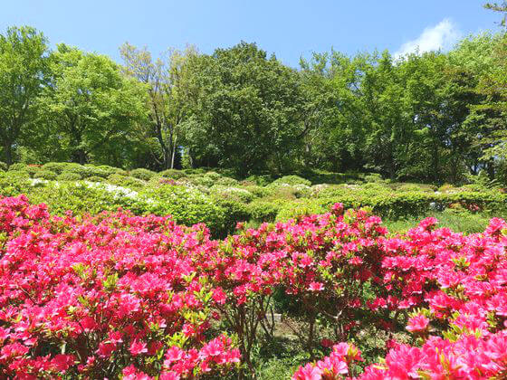 吾妻山公園 ツツジ
