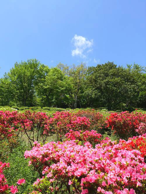 吾妻山公園 つつじ園