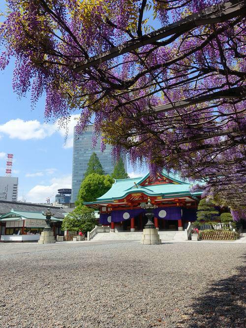 赤坂 日枝神社 藤