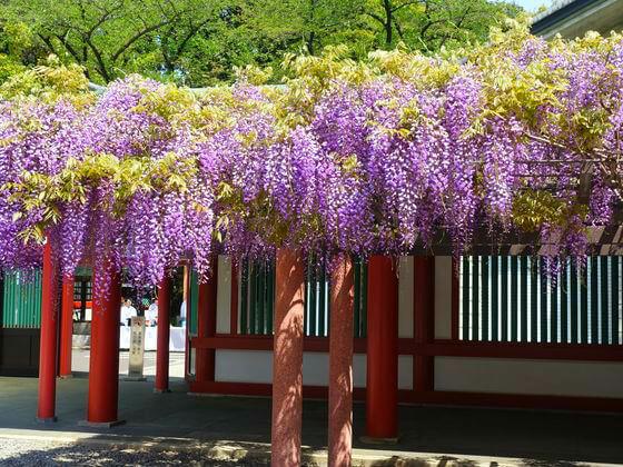 藤 日枝神社