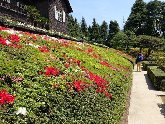 旧古河庭園 ツツジ 開花状況