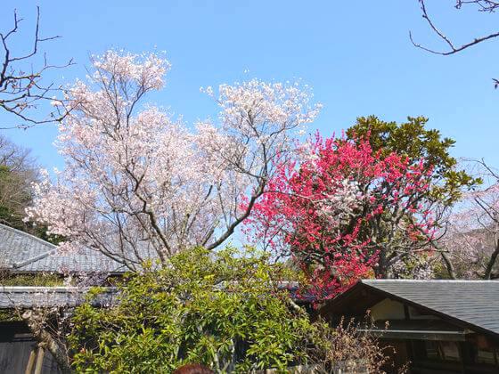 東慶寺 彼岸桜
