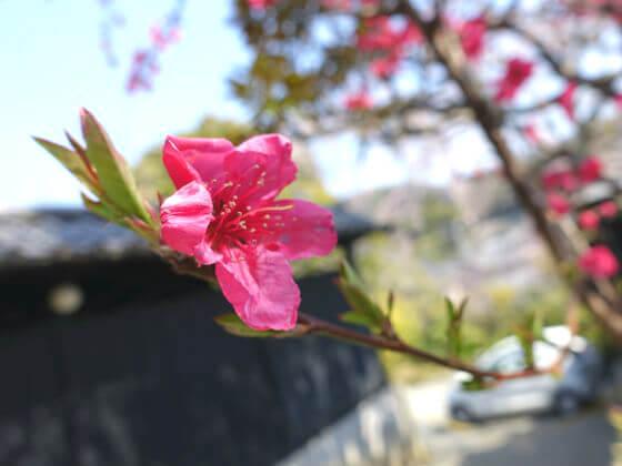 東慶寺 ヒモモ