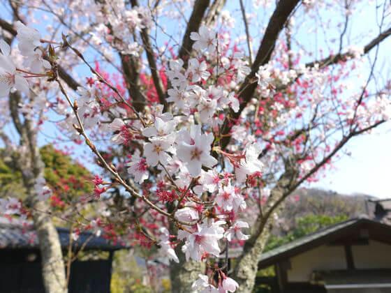 鎌倉 東慶寺 彼岸桜