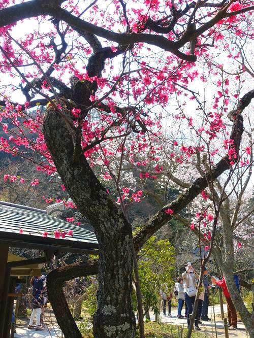 鎌倉 東慶寺 緋桃