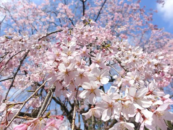 六義園 しだれ桜 見頃