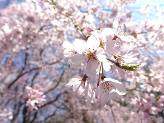 六義園 しだれ桜 開花状況