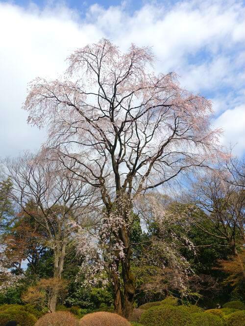 鶴姫のしだれ桜